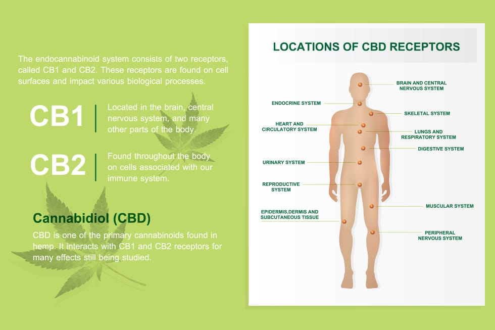 What are CB1 and CB2 Receptors? (and how Does CBD Work With Them?)